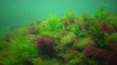 Photosynthesis in the sea, underwater landscape, fish Atherina pontica. Green, red and brown algae on underwater rocks (Enteromorpha, Ulva, Ceramium, Polisiphonia). Gulf of Odessa, Black Sea Archivo de Video