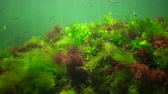odessza : Photosynthesis in the sea, underwater landscape, fish Atherina pontica. Green, red and brown algae on underwater rocks (Enteromorpha, Ulva, Ceramium, Polisiphonia). Gulf of Odessa, Black Sea Stock mozgókép