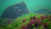 invertebrates : Photosynthesis in the sea, underwater landscape, fish Atherina pontica. Green, red and brown algae on underwater rocks (Enteromorpha, Ulva, Ceramium, Polisiphonia). Gulf of Odessa, Black Sea Stock Footage