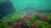 光合成 : Photosynthesis in the sea, underwater landscape, fish Atherina pontica. Green, red and brown algae on underwater rocks (Enteromorpha, Ulva, Ceramium, Polisiphonia). Gulf of Odessa, Black Sea 動画素材