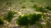 řasa : Photosynthesis in the sea, underwater landscape. Green algae on the seabed (Enteromorpha, Ulva, Ceramium). Gulf of Odessa, Black Sea