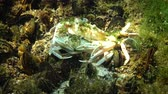 lagostim : Reproduction of crabs (Liocarcinus holsatus). Male and female before mating. Black sea