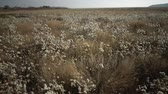 蜂蜜 : Tiligulsky estuary, a river of a dried-up plant in autumn, a tripod of Tripolium pannonicum. Nature of Ukraine