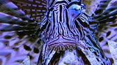 Лев : Dangerous poisonous lion fish in a marine aquarium Стоковые видеозаписи