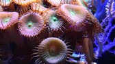 捕食性の : Multicolored Corals (Protopalythoa sp., Zoanthus, Palythoa) in a marine aquarium