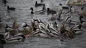 Birds of Ukraine. Swans, gulls and ducks - wintering waterfowl in the Black Sea Filmati Stock