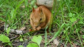 nibbling : Red squirrel deftly gnaws nuts in the park