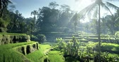 colina : Tegalalang rice terrace, Bali, Indonesia Stock Footage