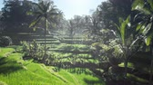 tegalalang : Tegalalang rice terrace frome drone, Bali, Indonesia Stock Footage
