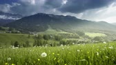 field of spring dandelions, Dolomites,South Tyrol, Italy Stok Video