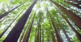 высокий : Californian redwood forest, Otway National Park, Australia Стоковые видеозаписи