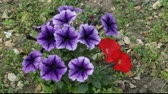 meal : Purple and red Petunias swaying in the breeze