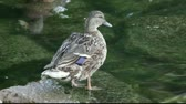 male animal : A duck standing in shallow water.