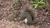 nibbling : Grey squirrel scavenging for food