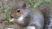 nibbling : Grey squirrel eating food from its paws in a wood, in England.