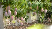 mangos : Mango tropical fruit hanging at branch of tree in a plantation agricultural of tropical fruit trees Stock Footage