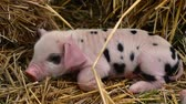 piglets : Oxford Sandy Black piglets sleeping. Four day old domestic pigs outdoors, with black spots on pink skin Stock Footage