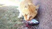 alimentação pouco saudável : Young tabby cat with a bloody face, eating its prey. Cat and fish