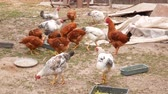 gallo : Group of red and white hens and roosters are looking for food in farm yard. Hens eat in poultry yard. Domestic birds. Poultry feeding on farm