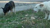 hound : Hungry homeless dogs eat bones and leftovers on roadside grass. Concept of help and care about stray animals