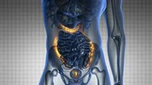 sigmoid colon : science anatomy scan of human colon glowing with yellow