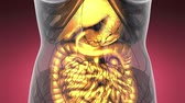 gastritis : Science Anatomy Scan Of Woman Digestive System Glowing