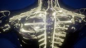 estressado : science anatomy scan of woman heart and blood vessels glowing Stock Footage