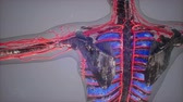 manequim : colored Human Internal organs scan Stock Footage