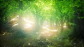 back lit : Forest of Beech Trees illuminated by Sunbeams