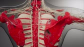 szkielet : Transparent Human Body with Visible Bones
