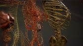belső : Animated 3D human anatomy illustration Stock mozgókép