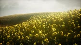 sunflower field : Beautiful sunflowers and clouds in a Texas sunset Stock Footage