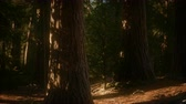ladrão : 8K Giant Sequoia Trees at summertime in Sequoia National Park Stock Footage