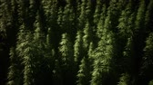 narkotik : Thickets of marijuana plant on the field