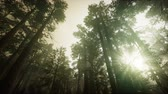 cins : Redwood Forest Foggy Sunset Scenery Stok Video