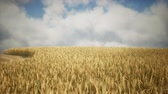 tohumlar : Ripe yellow rye field under beautiful summer sunset sky with clouds