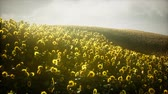 słonecznik : Beautiful sunflowers and clouds in a Texas sunset Wideo