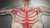 fisiologia : Transparent Human Body with Visible Bones