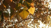 proximidade : Wind blowing Golden Pho leaf or Bodhi tree leaves, heart shaped leaf in sunshine morning. Bodhi trees is planted close proximity to Buddhist monastery.