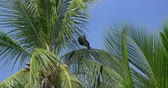 americanus : Red-Throated Caracara Sitting On A Palm, Costa Rica