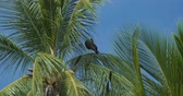 americanus : Red-Throated Caracara Sitting On A Palm, Costa Rica. Graded Version Stock Footage