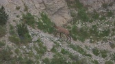 pyreneje : Single Chamois In The Pyrenees Mountains, Spain - native Version