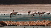 фламинго : Flock Of Chilean Flamingos At A Lake
