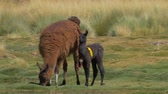 gras : Chilean Llama(s), Grazing Stock Footage