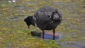 lake aquatic : Chilean Giant Coots