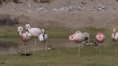 фламинго : Flock Of Chilean Flamingos, Heat Haze Стоковые видеозаписи