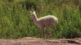 çalı : Chilean Baby Llama, Grazing Stok Video