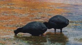 авес : Chilean Giant Coots