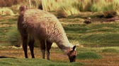 ovelha : Chilean Llama(s), Grazing Stock Footage