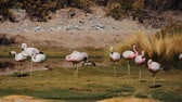 wildness : Flock Of Chilean Flamingos, Heat Haze Stock Footage